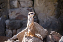 Surikata, Suricata suricatta. Small african mammal meerkat or suricate watching out for dange Royalty Free Stock Photos