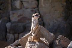 Surikata, Suricata suricatta. Small african mammal meerkat or suricate watching out for dange Royalty Free Stock Photos