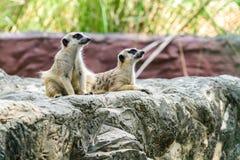 Surikate adorabile del meerkat Fotografia Stock Libera da Diritti