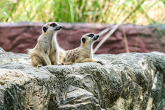 Surikate bonito do meerkat Foto de Stock Royalty Free