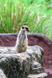 Surikate bonito do meerkat Imagem de Stock Royalty Free