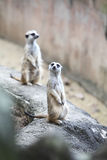 Surikate or Meerkat standing upright as Sentry Royalty Free Stock Photo