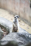 Surikate or Meerkat standing upright as Sentry Stock Photography