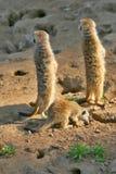 Surikats. Group surikats in the ZOO Jihlava city Stock Photos