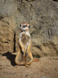 Surikatta Mammals Animals. Surikatta standing and watching surroundings on a sunny day royalty free stock image