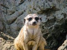 Surikatu hermoso en día soleado - surikatu en guardia imagen de archivo