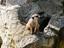 Surikatu hermoso en d?a soleado - surikatu en guardia imagen de archivo libre de regalías