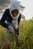 SURIN, ΤΑΪΛΆΝΔΗ - ΤΟΝ ΟΚΤΏΒΡΙΟ ΤΟΥ 2016 CIRCA: Ταϊλανδικοί λαοί που εργάζονται σε έναν τομέα ρυζιού στην ανατολή Στην Ταϊλάνδη, η Στοκ φωτογραφία με δικαίωμα ελεύθερης χρήσης
