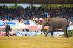 Surin Elephant Kicking Soccer Ball Royalty Free Stock Photography