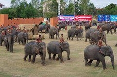 The Surin Elephant Round-up Stock Images