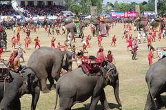 The Surin Elephant Round-up Royalty Free Stock Photo