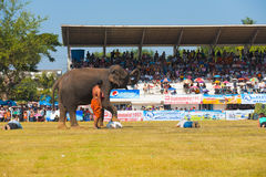 Surin Elephant Stepping On Volunteers Stock Images