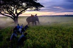 SURIN, TAILÂNDIA - CERCA DO OUTUBRO DE 2016: Os povos tailandeses que trabalham em um arroz colocam no nascer do sol Em Tailândia Imagem de Stock
