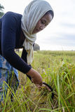 SURIN, TAILÂNDIA - CERCA DO OUTUBRO DE 2016: Os povos tailandeses que trabalham em um arroz colocam no nascer do sol Em Tailândia Imagens de Stock