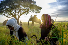 SURIN, THAILAND - CIRCA IM OKTOBER 2016: Thailändische Leute, die auf einem Reisgebiet bei Sonnenaufgang arbeiten In Thailand wir Stockfotografie