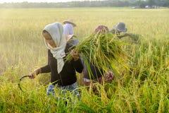 SURIN, THAILAND - CIRCA IM OKTOBER 2016: Thailändische Leute, die auf einem Reisgebiet bei Sonnenaufgang arbeiten In Thailand wir Lizenzfreie Stockfotografie