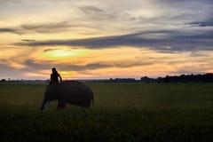 SURIN, THAILAND - CIRCA IM OKTOBER 2016: Thailändische Mahoutfahrt der Elefant, zum auf einem Reisgebiet bei Sonnenaufgang zu arb Stockfotografie