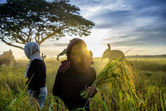 SURIN, THAILAND - CIRCA OCTOBER 2016 : Thai people working in a rice field at sunrise. In Thailand, the economy is dominated by ag. Riculture royalty free stock images