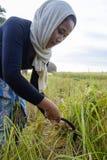 SURIN THAILAND - CIRCA OKTOBER 2016: Thailändskt folk som arbetar i en risfält på soluppgång I Thailand domineras ekonomin av ag Arkivbilder