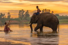 Mahout riding elephant walking in swamp. Surin, Thailand - June 25, 2016: Mahout riding elephant walking in swamp with woman bathing on coast in Surin, Thailand Stock Image