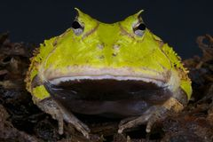 Surinam horned frog / Ceratophrys cornuta Stock Photo