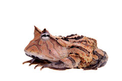 The Surinam horned frog isolated on white Stock Photos