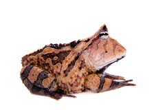 The Surinam horned frog isolated on white Stock Photo