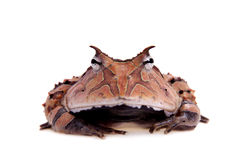 The Surinam horned frog  on white Royalty Free Stock Images