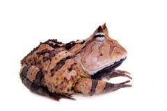 The Surinam horned frog on white