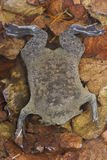 Surinam Toad / Pipa pipa Stock Photos