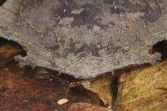 Surinam Toad / Pipa pipa Stock Image
