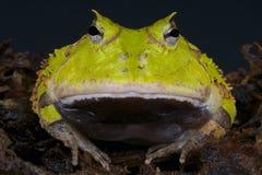 Surinam uzbrajać w rogi żaby, Ceratophrys cornuta/ zdjęcie stock