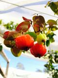 Suriname cherry Stock Image