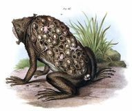Suriname Toad Royalty Free Stock Image