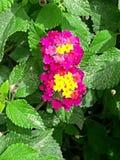 Surinamese цветок стоковая фотография