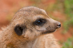 Suritcate, or Meerkat (Suricata suricata) Royalty Free Stock Photo