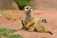 Suritcate, or Meerkat (Suricata suricata). Female Stock Photography