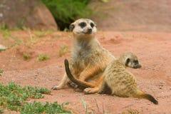 Suritcate, o Meerkat (suricata del Suricata). Hembra Fotografía de archivo