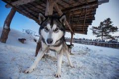 Surly dog Siberian Husky Stock Images