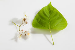 surmia, surmia aurea, liść i okwitnięcia, Zdjęcie Royalty Free