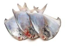 Surowa Hummer Shimatsugao ryba zdjęcia royalty free