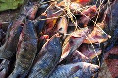 Surowa ryba fotografia stock
