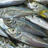 Surowa ryba nad naturalnym drewnianym tłem (scad) Zdjęcie Royalty Free
