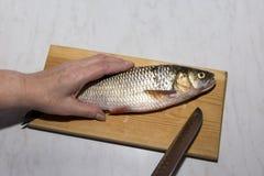 Surowa słodkowodna ryba na kuchni desce, ręka, nóż Fotografia Stock