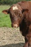 surowa wołowina Fotografia Stock