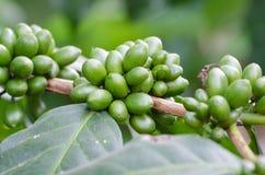 Surowe coffe jagody. Obrazy Royalty Free