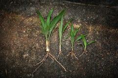 surowe narastające nafcianej palmy rośliny fotografia stock