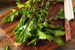 Surowe Organicznie Czerwone Dandelion zielenie Obraz Stock