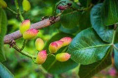 Surowe pistacje zdjęcie stock