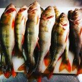Surowej ryba łapanie w zimie Fotografia Royalty Free